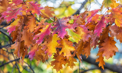 NZ 17 Autumn Leaves