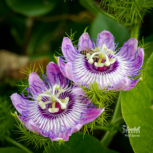 Wild-growing passionflowers, Wellington, Florida