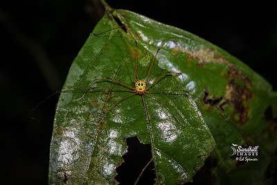 Jason's Mask Harvestman