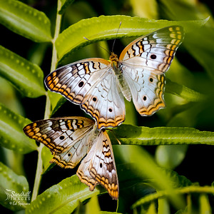 White peacock butterflies