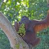 Bornean Orangutan Male 2 ( Pongo pygmaeus ) Lower Kinabatangan River Borneo June 2014
