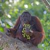 Bornean Orangutan Male ( Pongo pygmaeus ) Lower Kinabatangan River Borneo June 2014