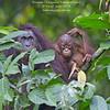 Bornean Orangutan ( Pongo pygmaeus ) Lower Kinabatangan River Borneo June 2014