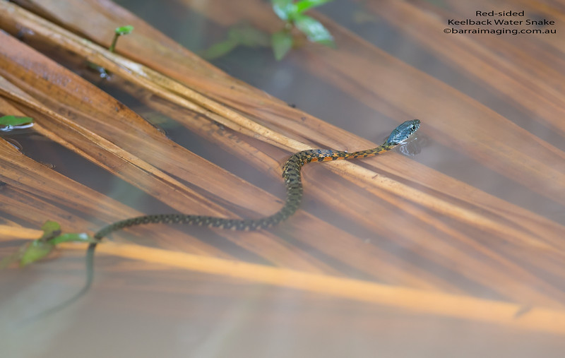 Red-sided Keelback Water Snake 1