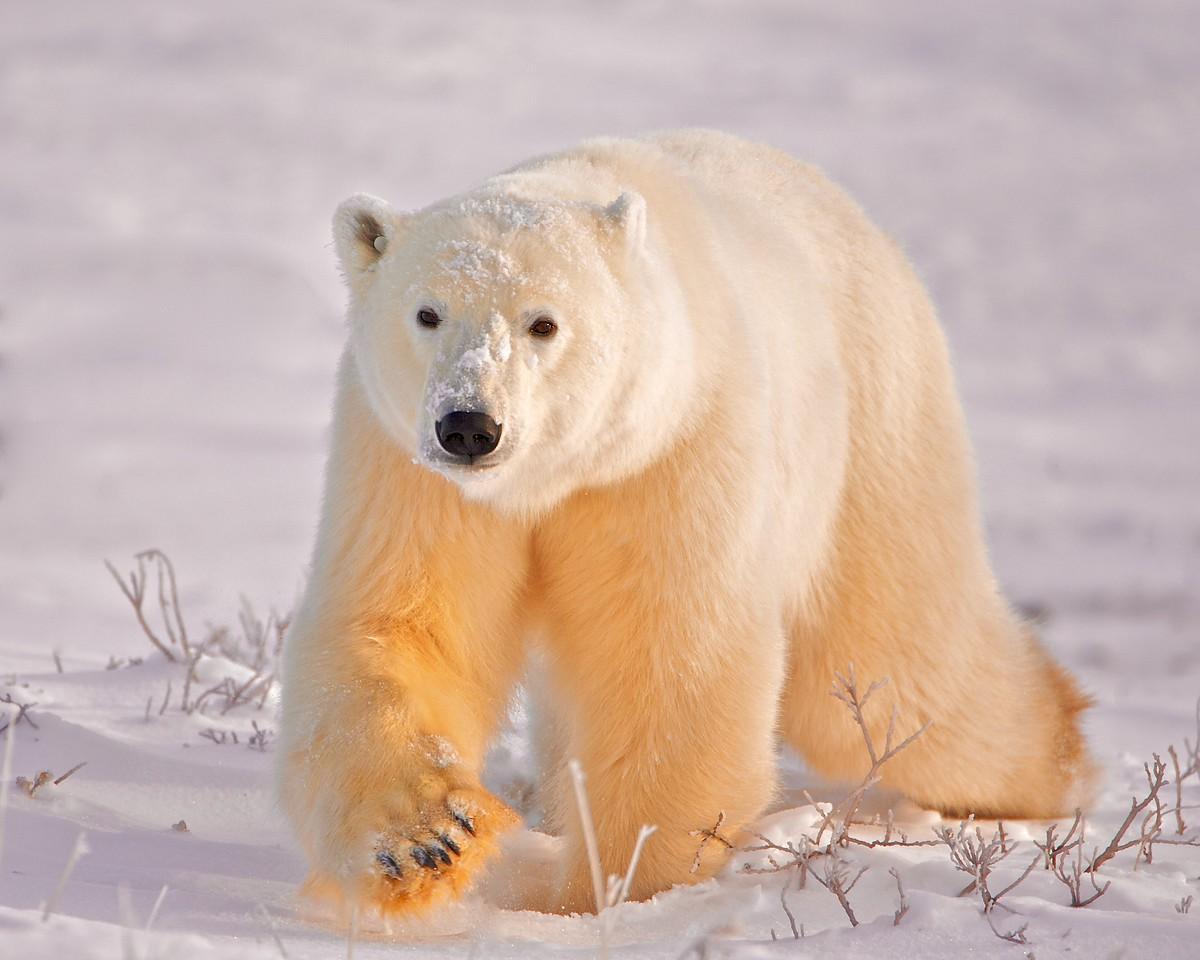 Polar Bears 1844