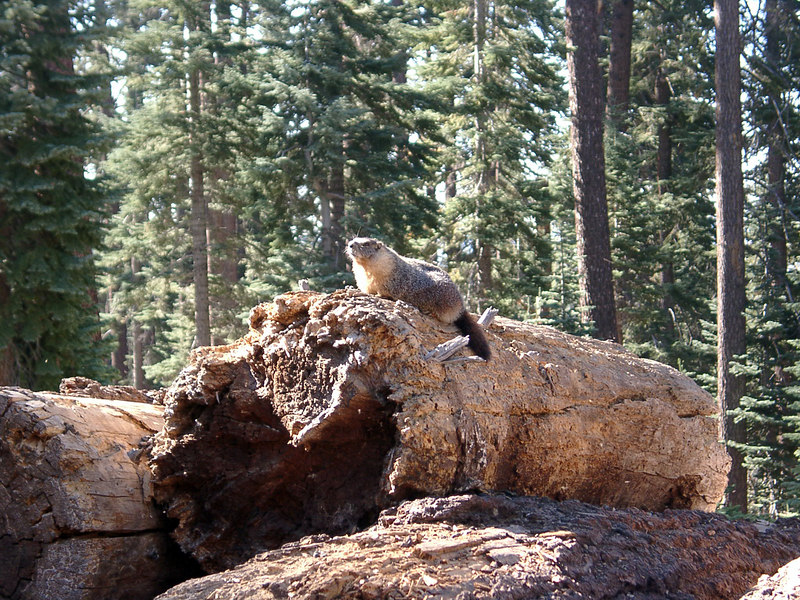 Marmot at the start of the trail