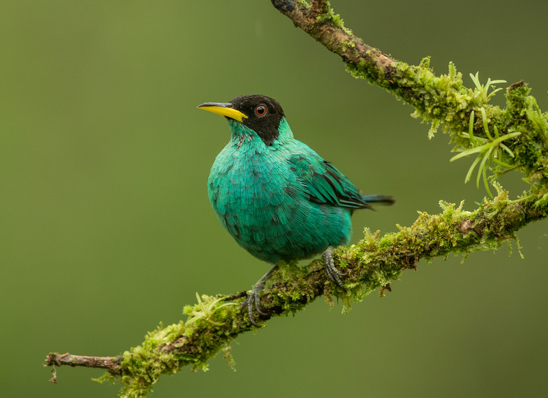 Atlantic Lowlands, Costa Rica: male Green Honeycreeper