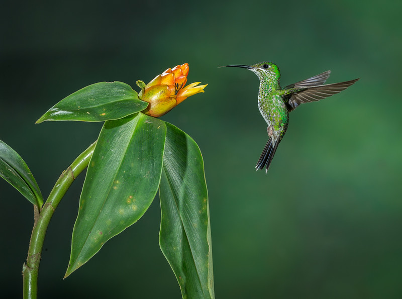Central Volcanic Mountain Range, Costa Rica: female Green-crowned Brilliant