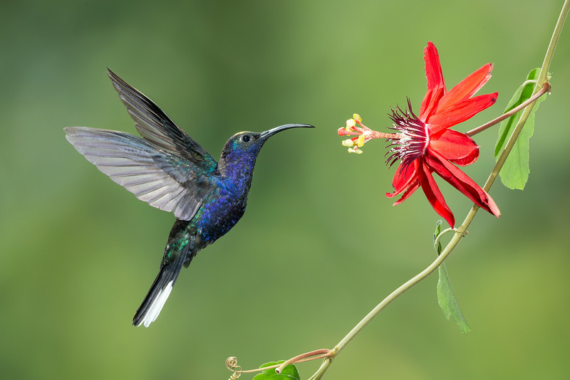Central Volcanic Mountain Range, Costa Rica: male Violet Sabrewing