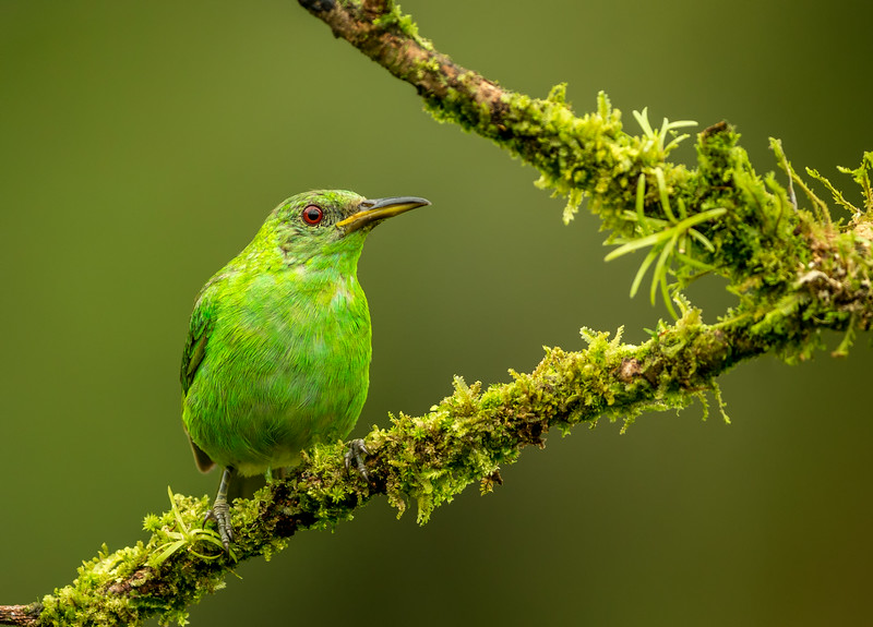 Atlantic Lowlands, Costa Rica: female Green Honeycreeper