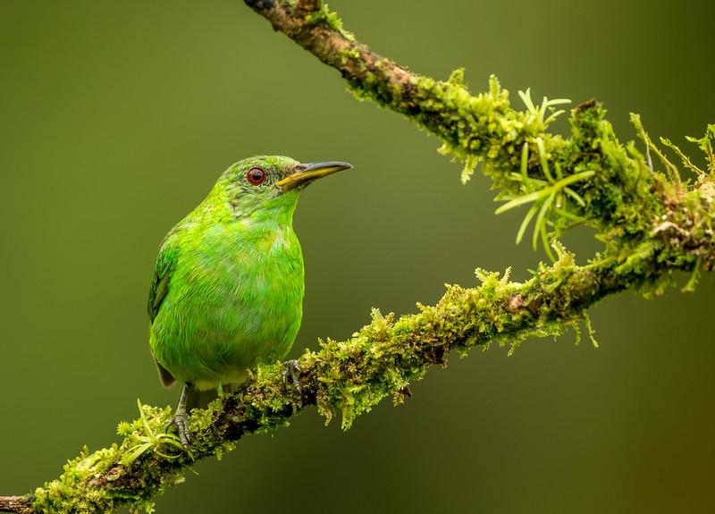 Atlantic Lowlands, Costa Rica: female Green Honeycreeper