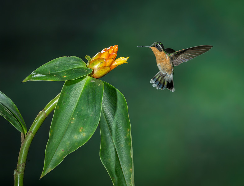 Central Volcanic Mountain Range, Costa Rica: female Purple-throated Mountain Gem