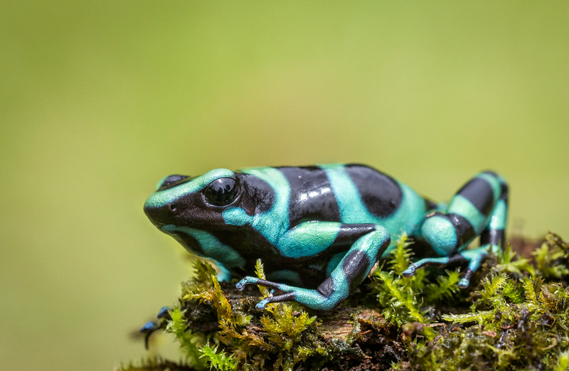 Atlantic Lowlands, Costa Rica: Green & Black Poison Frog