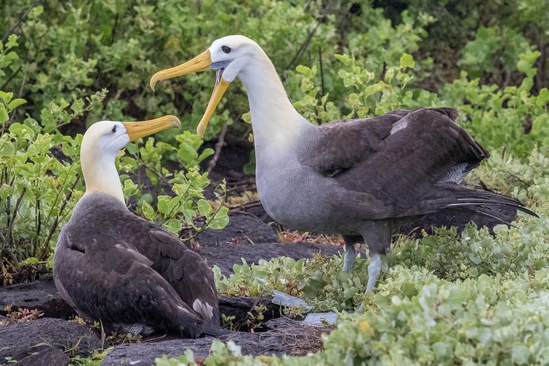 Punta Suarez, Española Island, Galápagos. Courting waved albatross.