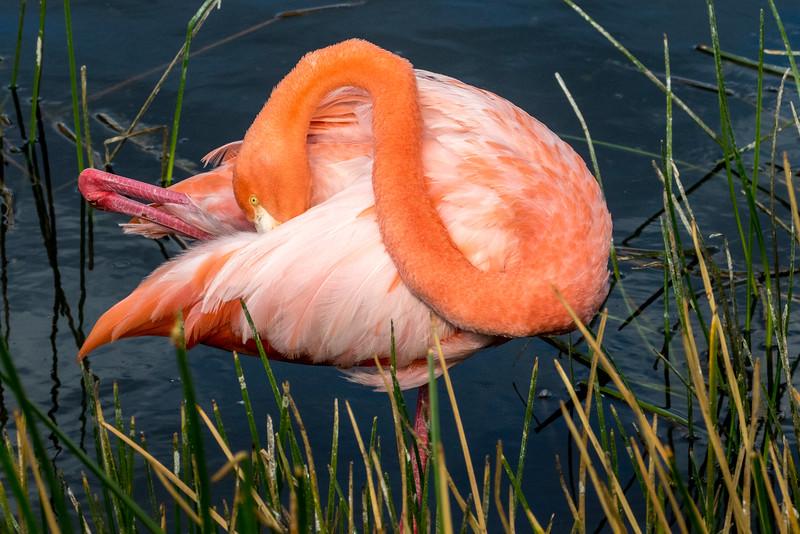 Punta Moreno, Isabela Island, Galápagos. A flamingo.