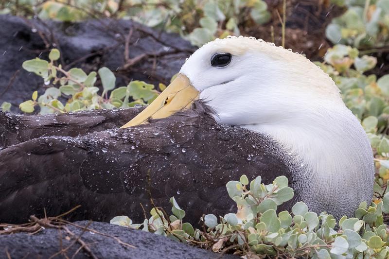 Punta Suarez, Española Island, Galápagos. A resting waved albatross.