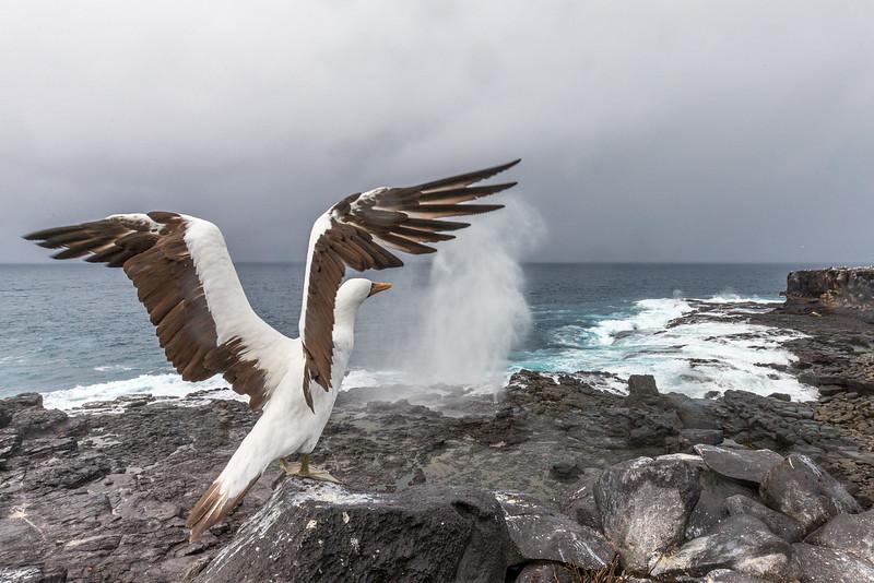 Punta Suarez, Española Island, Galápagos.  A Nazca booby takes flight.