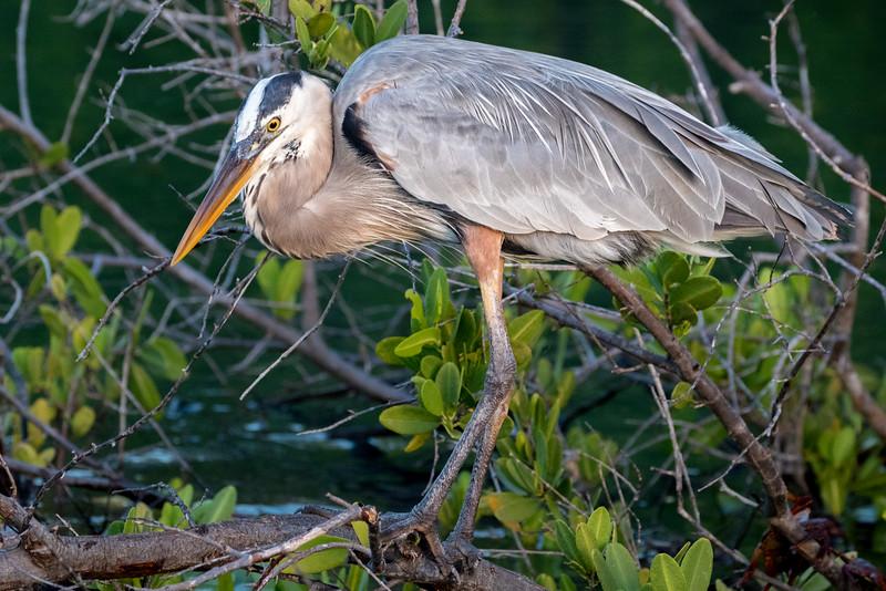 Elizabeth Bay, Isabela Island, Galápagos. A great blue heron.