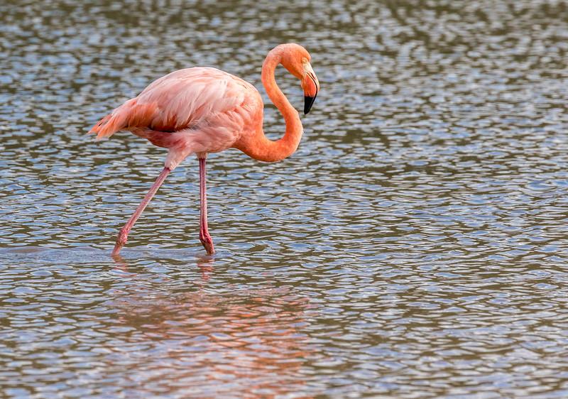 Punta Cormorant, Floreana Island, Galápagos. Flamingos frequent a brackish lagoon behind the beach.