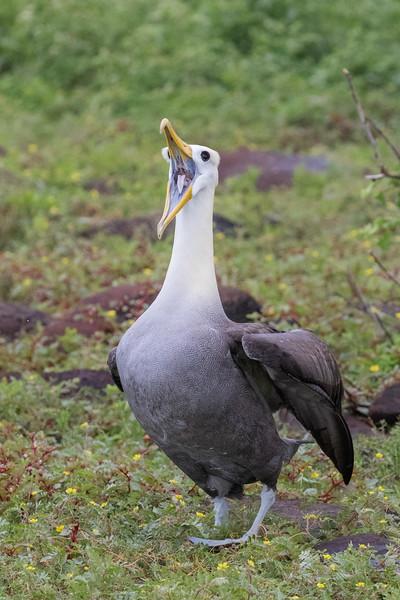 Punta Suarez, Española Island, Galápagos. A waved albatross.
