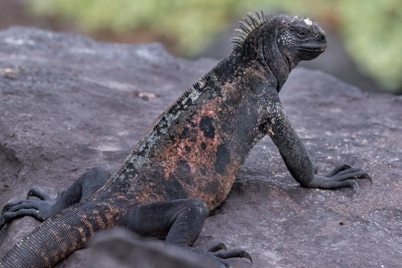Punta Suarez, Española Island, Galápagos. An Española  marine iguana.