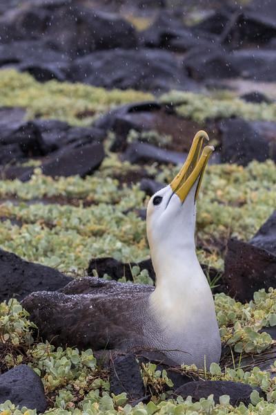 Punta Suarez, Española Island, Galápagos. A waved albatross harvests rain water.