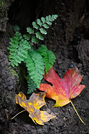 Fern and Fall Colors  LLD_0881