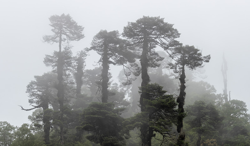 Between Bumthang and Phobjikha on the Lateral Road, Bhutan. The jungle is tall and the mist thick here on the eastern side of Dochula Pass.