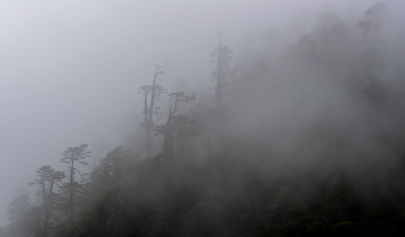 Between Bumthang and Phobjikha on the Lateral Road, Bhutan. Ghostly trees ascend the slopes in the mountain mist.
