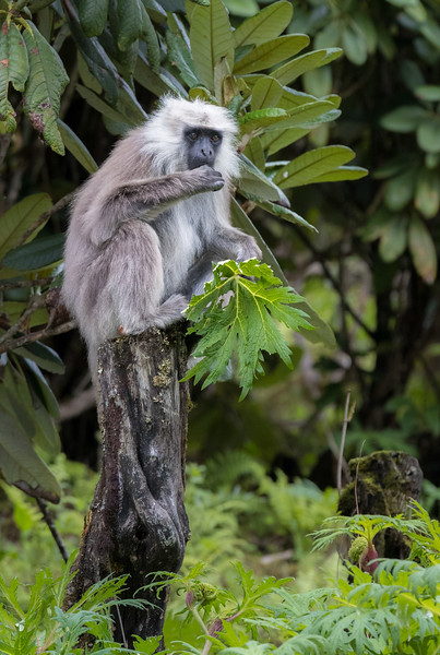 Along the Lateral Road between Phobjikha and Punakha. As demonstrated here, grey langurs are part of the leaf-eater category of monkeys.