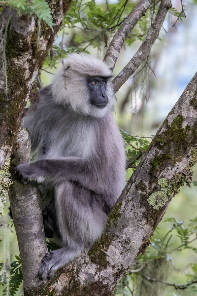Along the Lateral Road between Phobjikha and Punakha. A grey langur in a roadside tree.