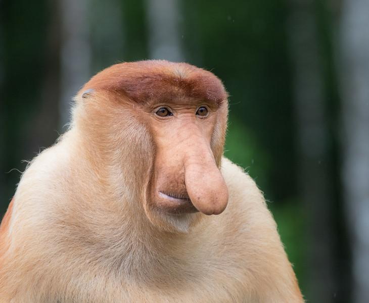 Labuk Bay Proboscis Monkey Sanctuary, Sandakan, Sabah, Malaysia. Kozi, an alpha male.