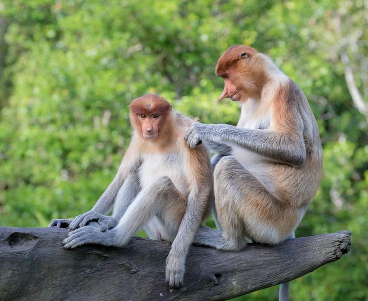 Labuk Bay Proboscis Monkey Sanctuary, Sandakan, Sabah, Malaysia. A mother grooming her juvenile.