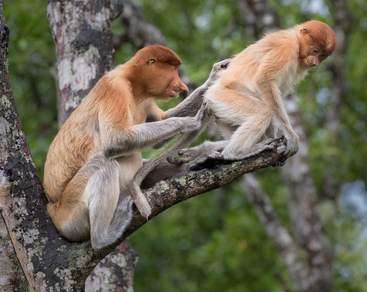 Labuk Bay Proboscis Monkey Sanctuary, Sandakan, Sabah, Malaysia. A mother grooms her juvenile.