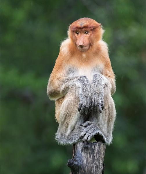 Labuk Bay Proboscis Monkey Sanctuary, Sandakan, Sabah, Malaysia. A juvenile has found a comfortable perch.