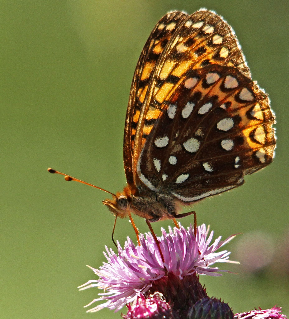 IMAGE: https://photos.smugmug.com/Other-Galleries/Bugs-Butterflies-Spiders-etc/i-5BsnxPZ/0/32971962/O/056_edited-1.jpg