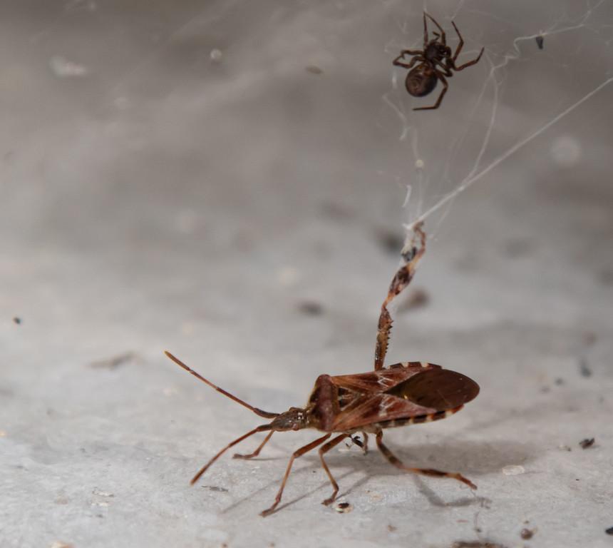 IMAGE: https://photos.smugmug.com/Other-Galleries/Bugs-Butterflies-Spiders-etc/i-QtCdbPR/0/5a23436c/XL/0E4A0381-2-XL.jpg