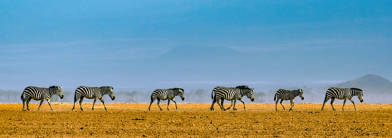"Amboseli National Park, Kenya. Zebras cross the dry lake bed (or ""pan"")."