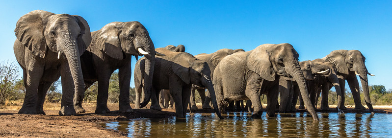 Mashatu Game Reserve, Botswana. Elephants pause at a water hole before moving on.