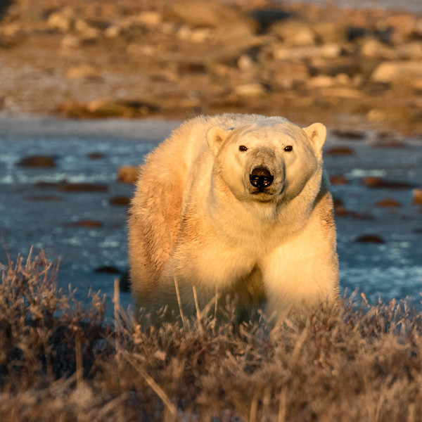 Churchill, Manitoba, Canada. A polar bear in early light, one of hundreds waiting in the area for sea ice to form on Hudson Bay. The bears largely go hungry until they can resume seal hunting on the sea ice.