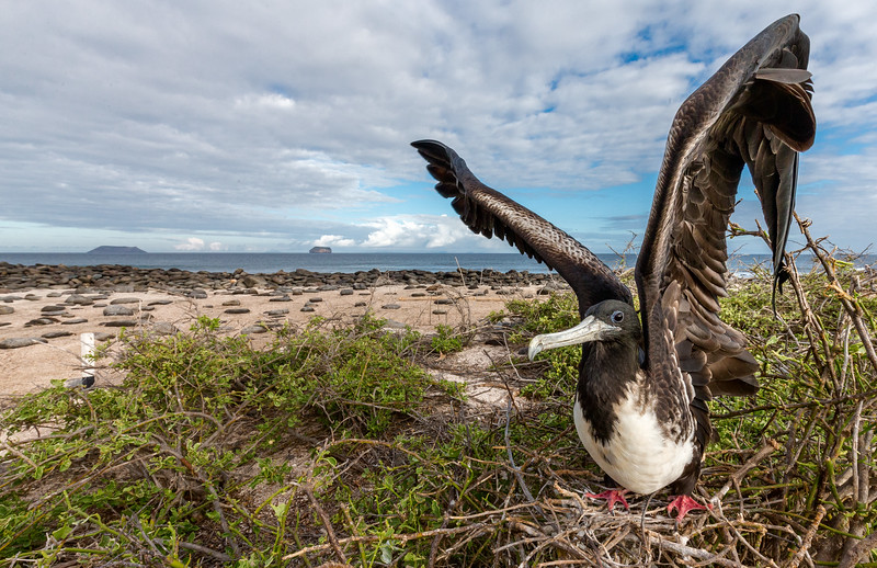 North Seymour Island, Galápagos. A female breeding magnificent frigatebird prepares to take flight.