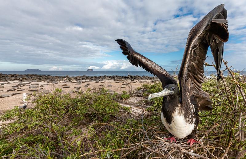 North Seymour Island, Galápagos. A female breeding magnificent frigatebird prepares to take flight.