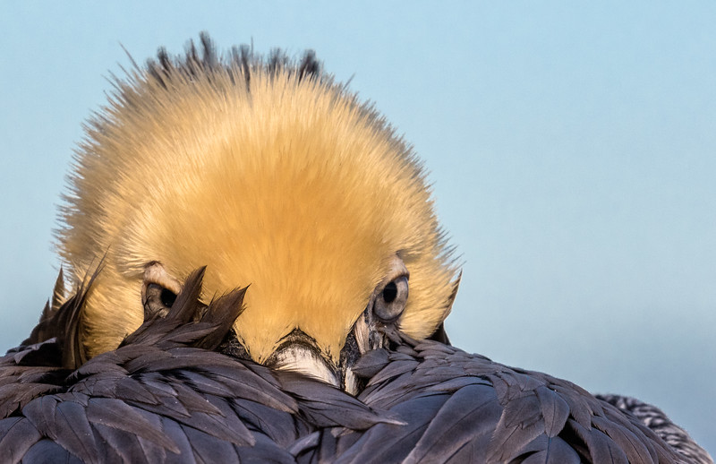 La Jolla Cove, San Diego, California. A California brown pelican buries its bill in back feathers, but remains alert.