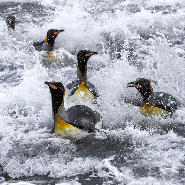 Salisbury Plain, South Georgia. King penguins surf into the beach after foraging in the ocean. Salisbury Plain hosts the second largest king penguin colony on the island, with roughly 60,000 breed pairs.