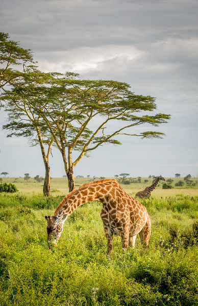 Serengeti, Tanzania. Maasai giraffes feeding, with yellow-barked acacia trees in the background.
