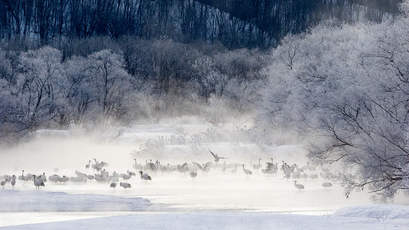 Setsuri River, Tsurui, Hokkaido, Japan. Red-crowned cranes roost in the river because the water is warmer than the air and because they can more easily detect predators coming through the water. Here, photographed from the Otowa Bridge, the cranes have awakened, as hoar frost coats the shoreline trees.