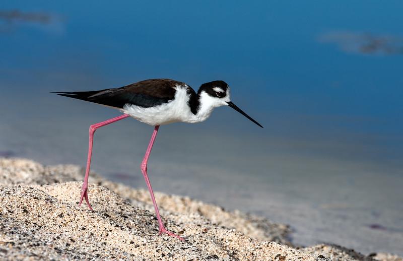 Las Bachas Beach, Santa Cruz Island, Galápagos. A black-necked stilt along the shore of an inland lagoon.