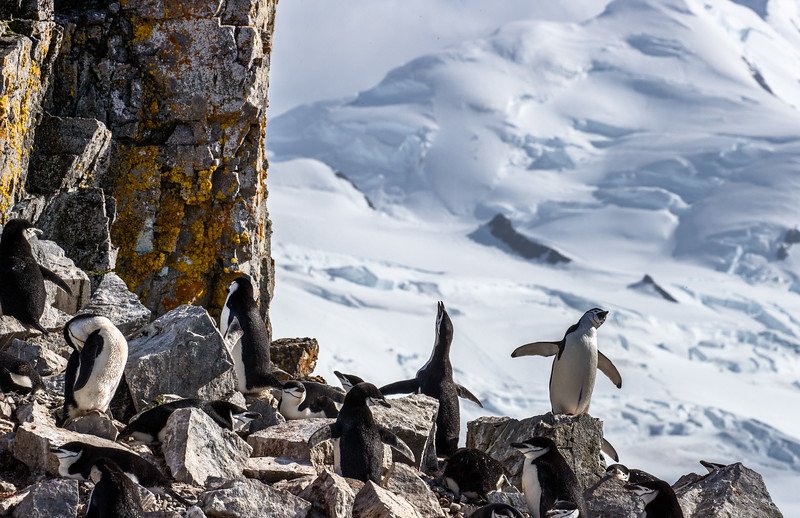 Half Moon Island, South Shetland Islands, Antarctic Peninsula. Chinstrap penguins, including two on the right that are engaged in a raucous exchange of stacatto calls, accompanied by wing-flapping and head-waving. This display is often seen when one partner returns to take over incubating duties from the other or to feed the young at their rocky nest.