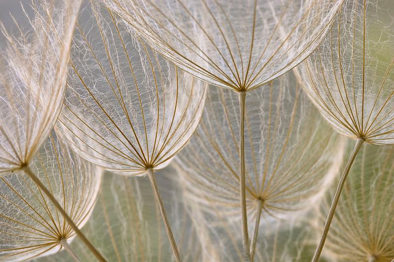"""<span style=""""color:#FBEC5D"""">Dosel de salsifí</span></em>  Paseando por una pradera en primavera, observé la llamativa inflorescencia del salsifí <em>(Tragopogon porrifolius)</span></em>. Quise tomar un primer plano para mostrar la delicada estructura, a modo de encaje de los vilanos, y el entramado de líneas convergentes. Busqué una profundidad de campo que mostrase los sucesivos planos, pero evitando un diafragma excesivo que pudiera crear una imagen demasiado confusa. Elegí también un ángulo bajo y la imagen termina pareciendo el dosel de un bosque de vilanos de copas sedosas, tal cómo lo percibiría un insecto que paseara entre estas semillas.  Nikon D70s, Nikkor 105 mm f2.8 y tubos de extensión, f/14, 1/40, (+0,3ev), ISO 200  Primer premio en la categoría """"Elogio de las plantas"""" en el concurso internacional """"Wildlife Photographer of the Year 2009"""". Organizado por el Museo de Historia Natural de Londres y la BBC Wildlife Magazine. Inglaterra.   <em>(Tragopogon porrifolius)</span>"""