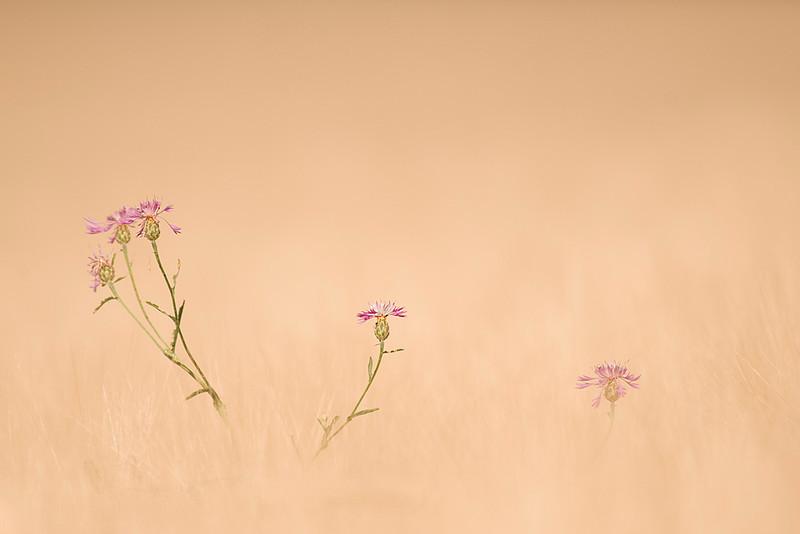 """<span style=""""color:#FBEC5D"""">Centáureas</span></em> Surgiendo del color pajizo del trigal en verano, las delicadas flores de las centáureas se yerguen hacia el sol, ofreciendo los colores rosas de sus corolas a los insectos. La imagen juega con la profundidad de campo reducida, la luz de la tarde, el viento suave que movía las espigas y una ligera sobreexposición. Así, pude aislar las inflorescencias y conseguir un efecto de entorno difuso que las destaca en un ambiente, que de otra manera, hubiese sido demasiado abigarrado.  Nikon D300, Nikkor 80-400mm, f/5.6, 1/800, (+0.3ev), ISO 200.  Finalista en el XXVII Concurso Fotográfico """"Día Mundial del Medio Ambiente organizado por la Consejería de Medio Ambiente de la Junta de Andalucía 2010.  Spain"""